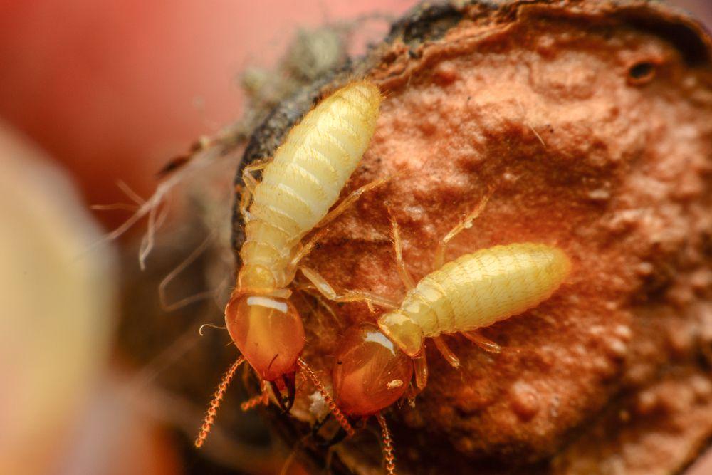 pair of termites