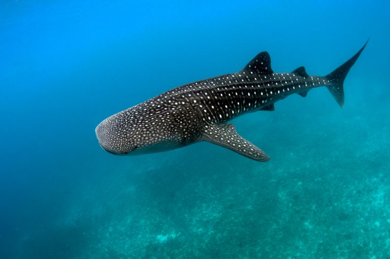 Whale shark swimming underwater.