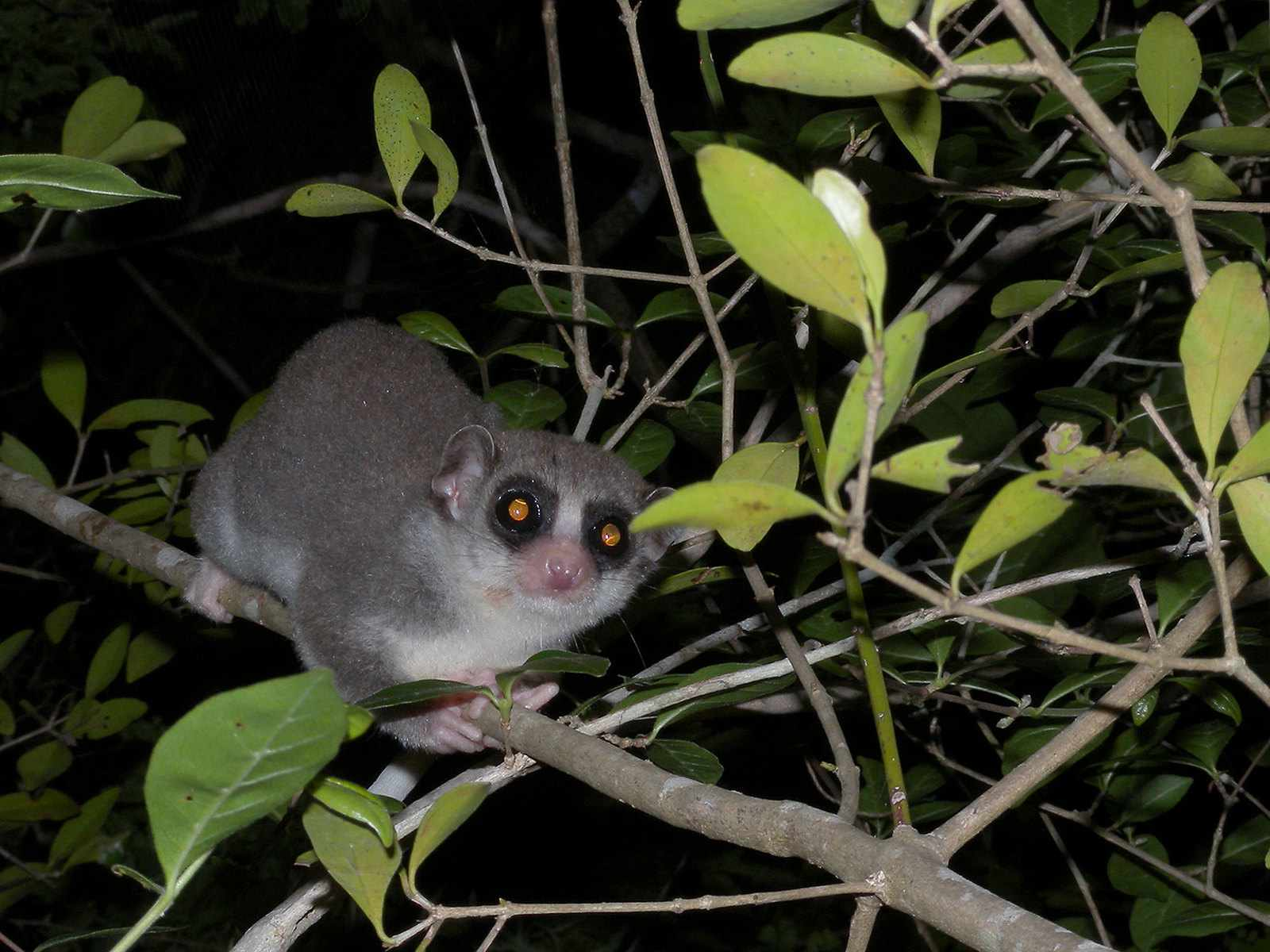 A fat-tailed dwarf lemur holding onto a tree branch.