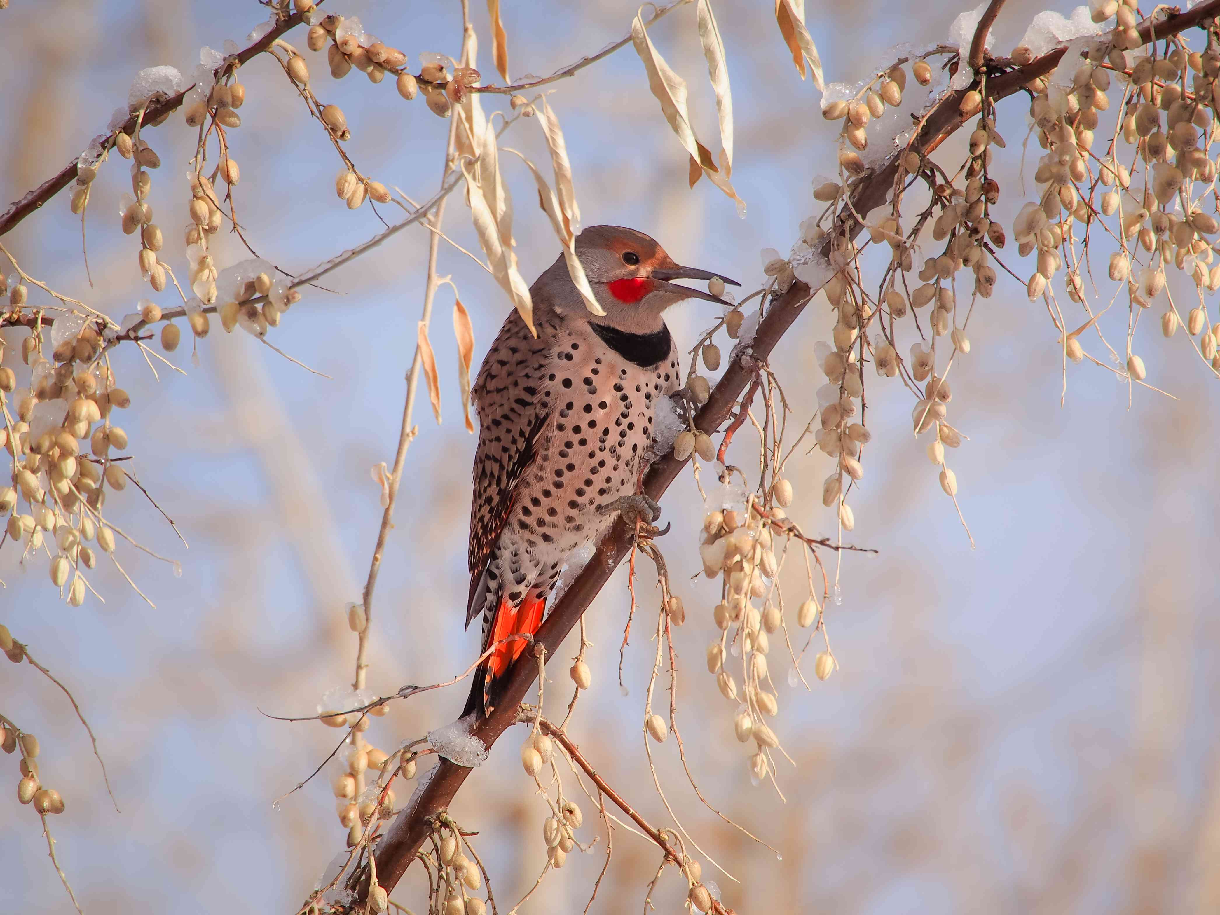 A northern flicker perched on a branch.