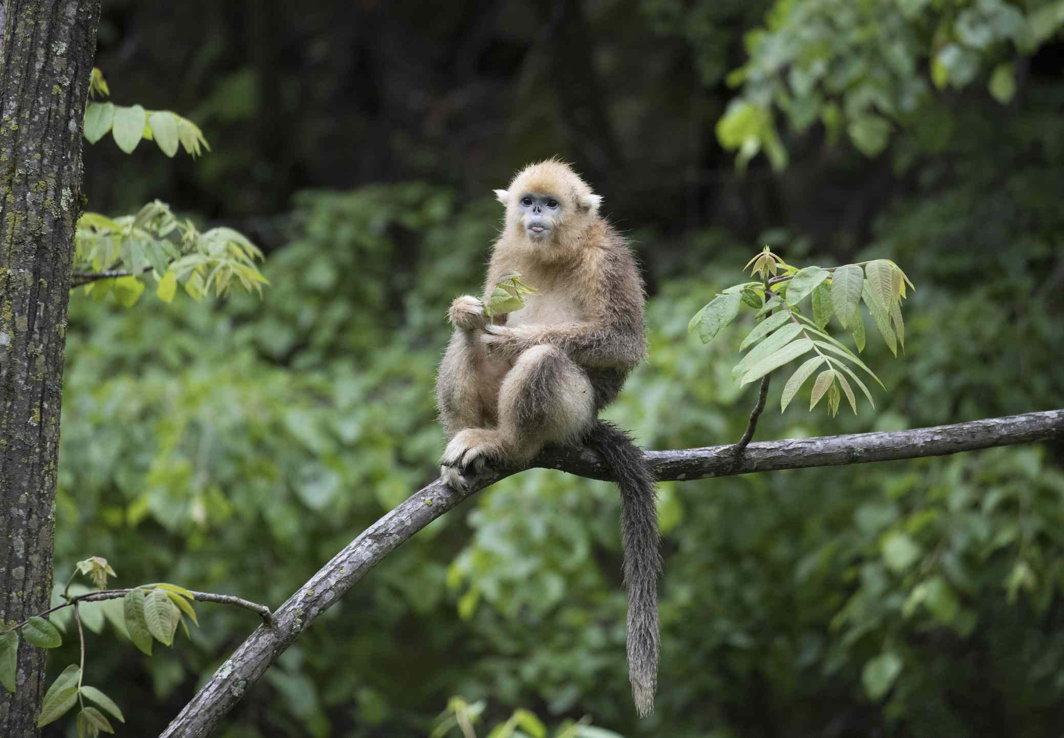 A golden snub nosed monkey sitting on a branch surrounded by green leaves and trees.