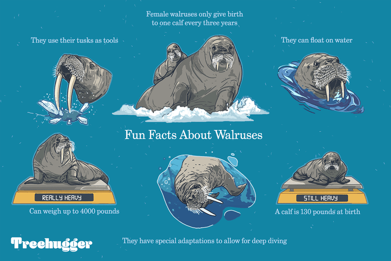 Cool facts about walruses illustration
