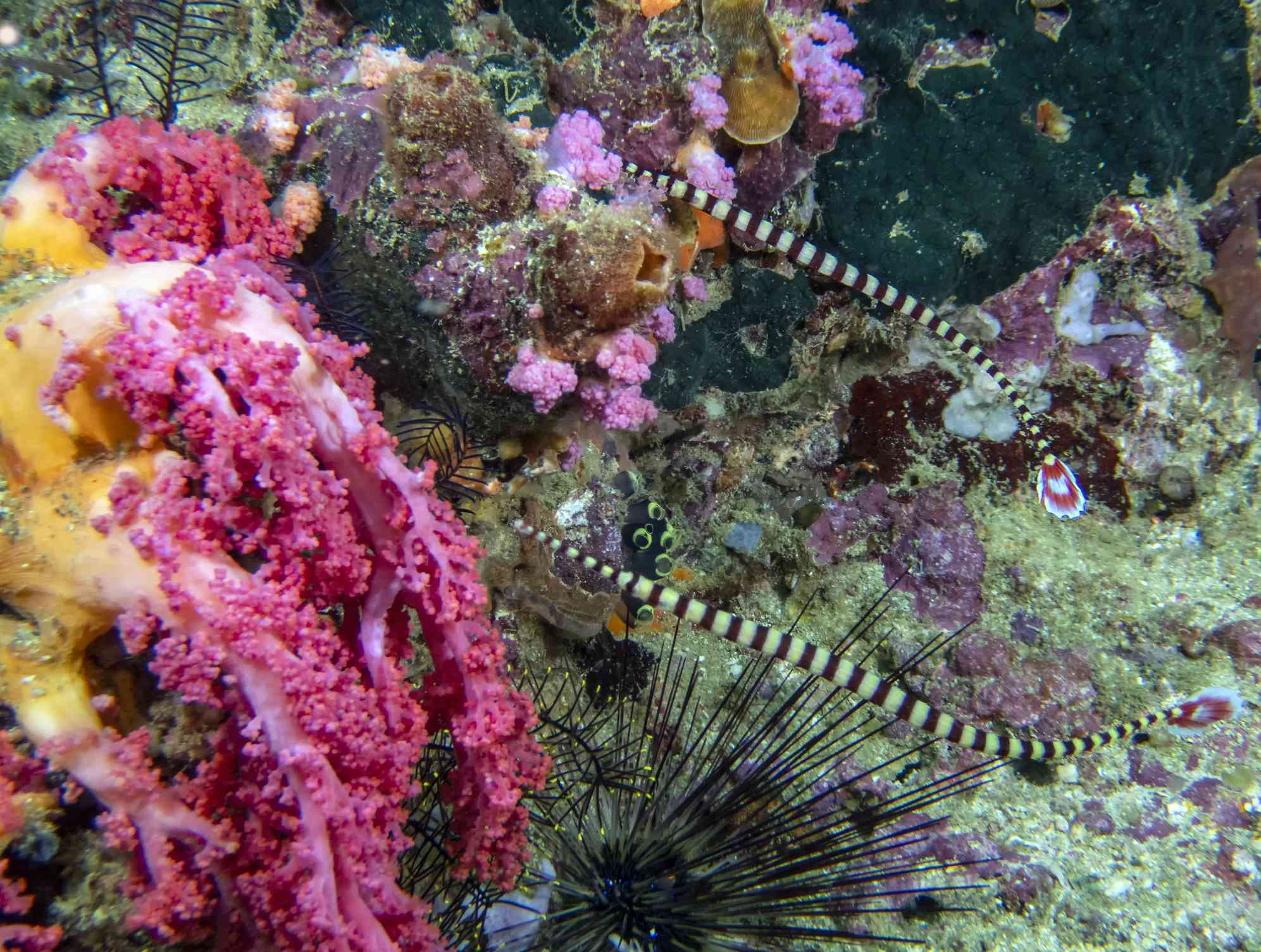 A pair of black and yellow striped banded pipefish on a pink, yellow, and lavender reef