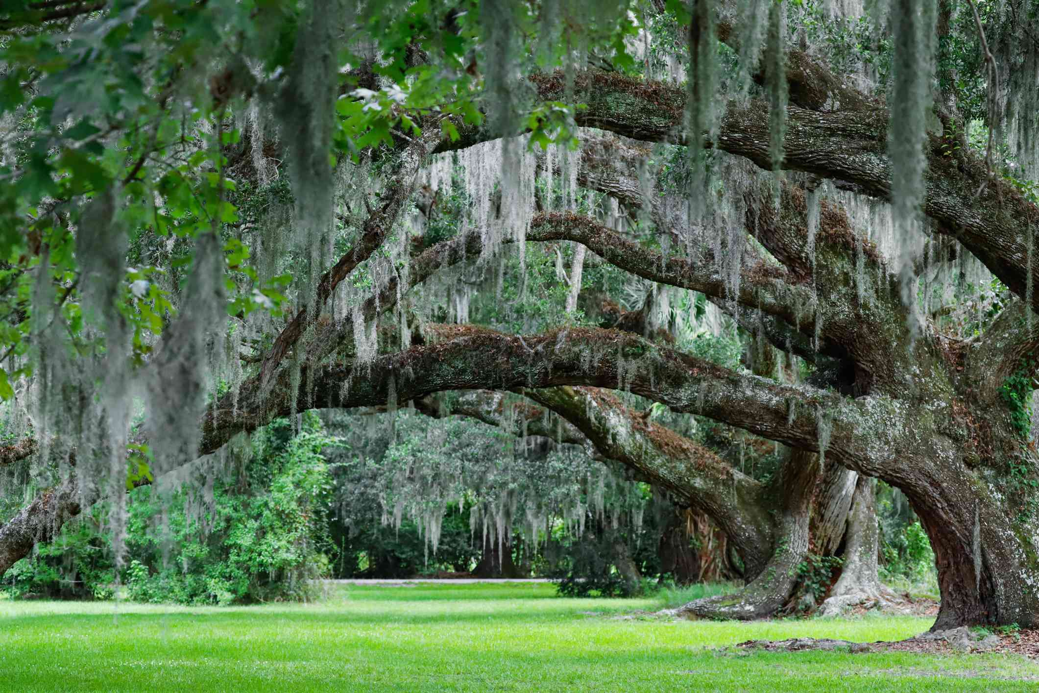 Several Live Oak trees in a row with moss hanging off branches.