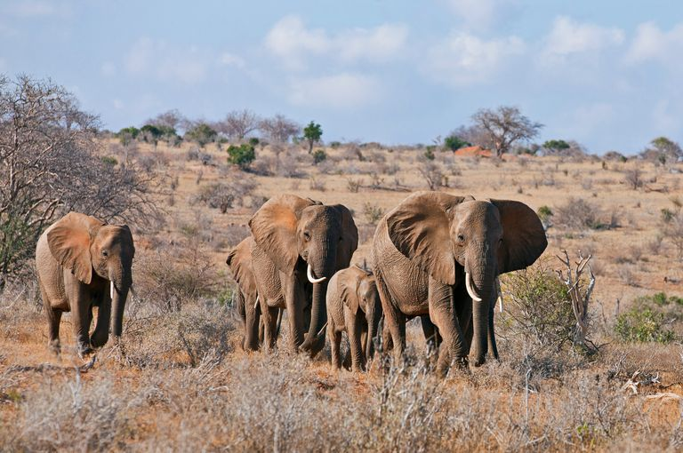 A herd of elephants on the move in arid Tsavo East National Park, Kenya