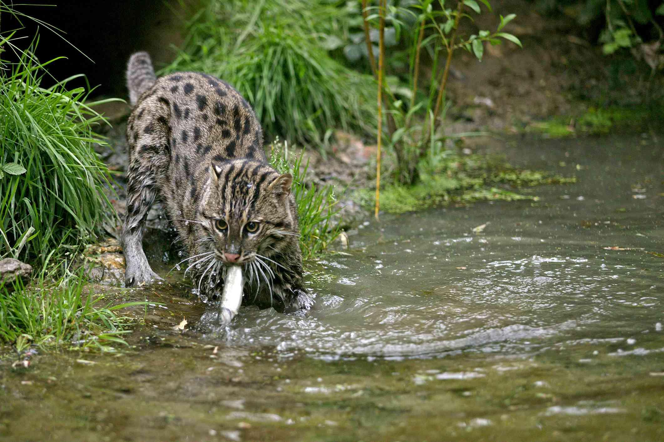 FISHING CAT prionailurus viverrinus, ADULT IN WATER CATCHING FISH