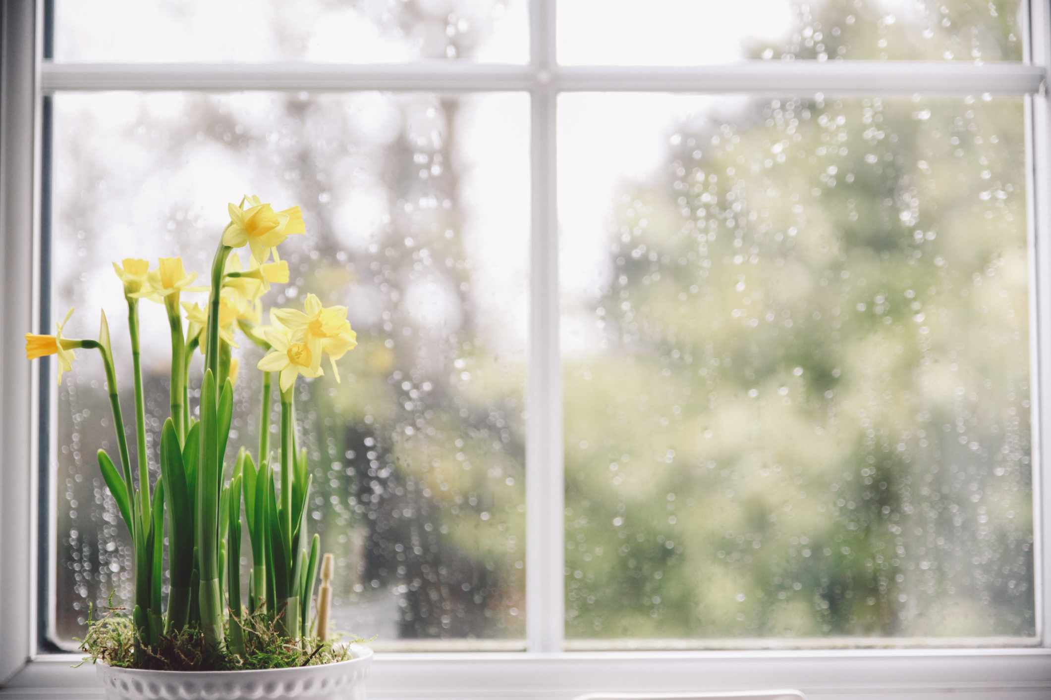Potted yellow daffodils on a windowsill