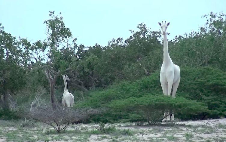 Escurridizas jirafas blancas como la nieve filmadas en Kenia