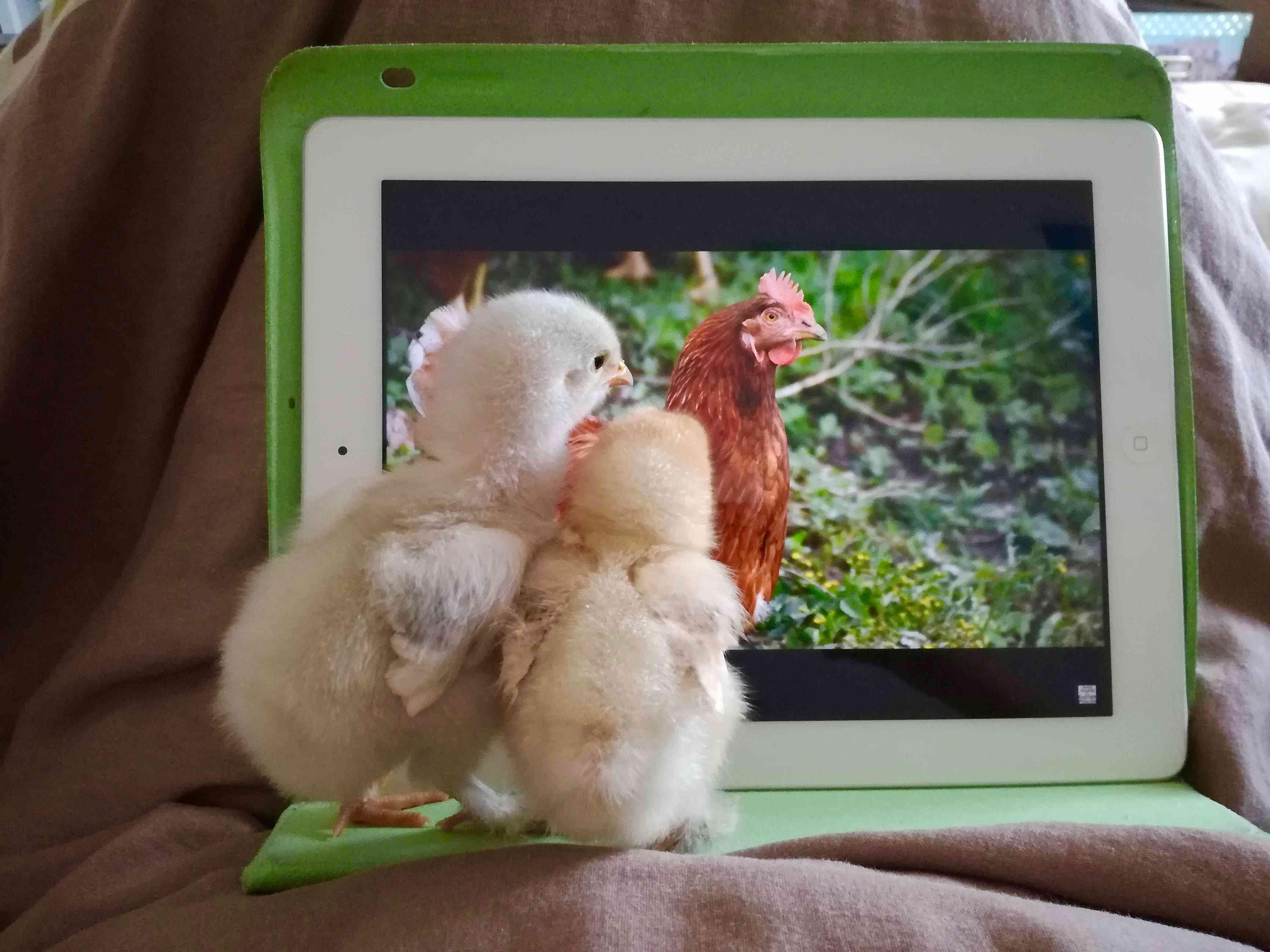 Inquisitive Chicks