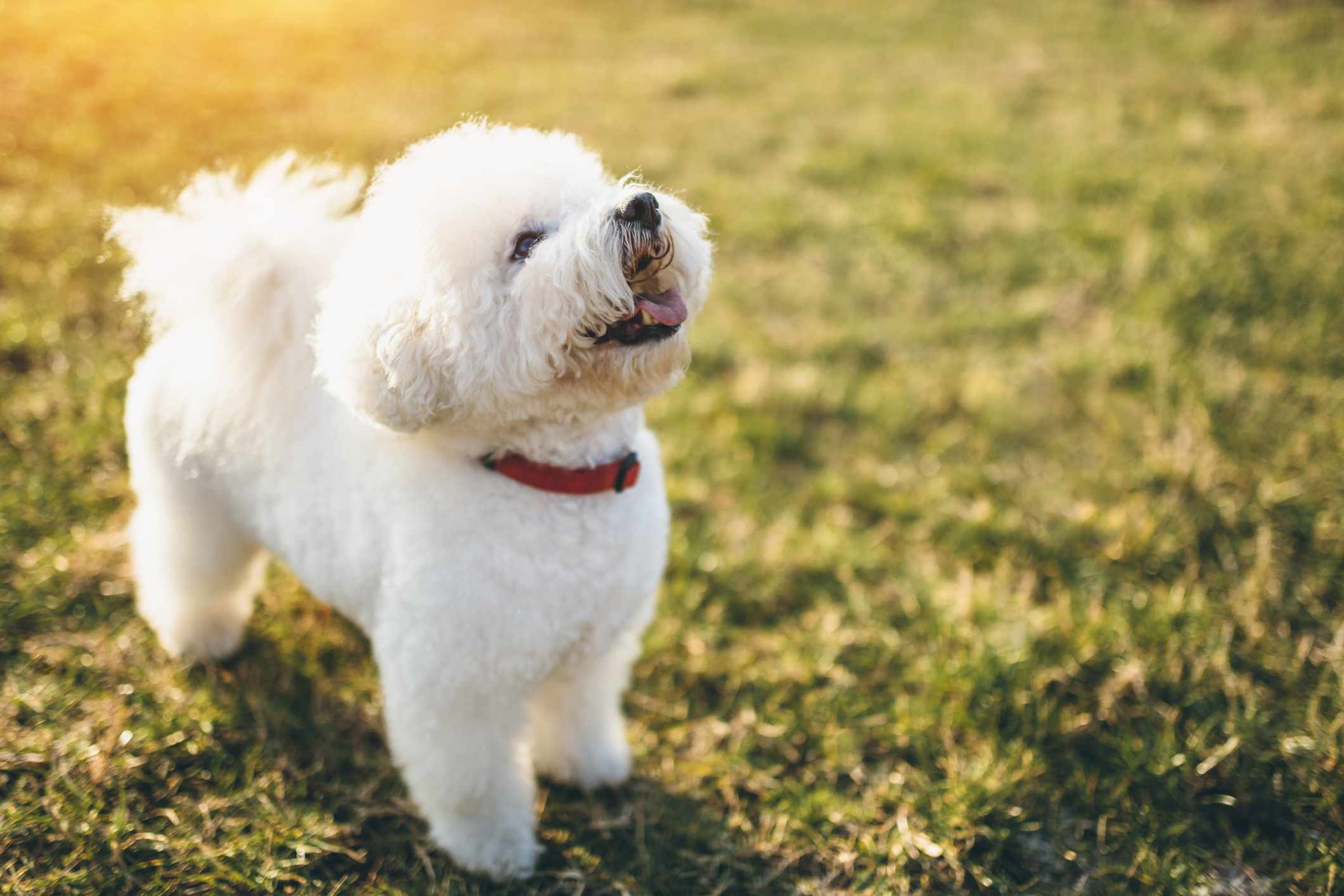 white bichon Frise standing on a grassy field looking up