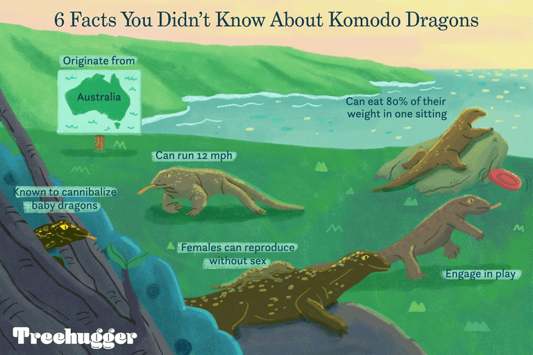 6 illustrated facts about komodo dragons, including that they play