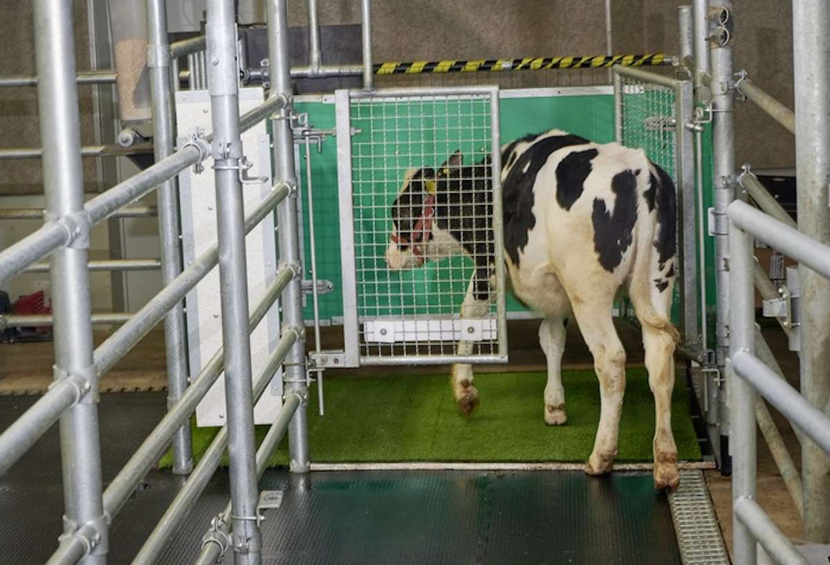 This photo shows a calf in a latrine undergoing MooLoo training.