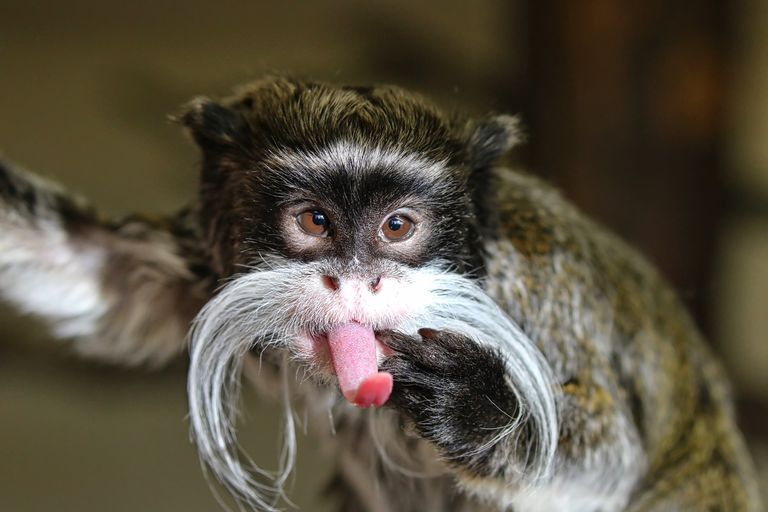 Close-Up Of Emperor Tamarin Monkey Sticking Out Tongue