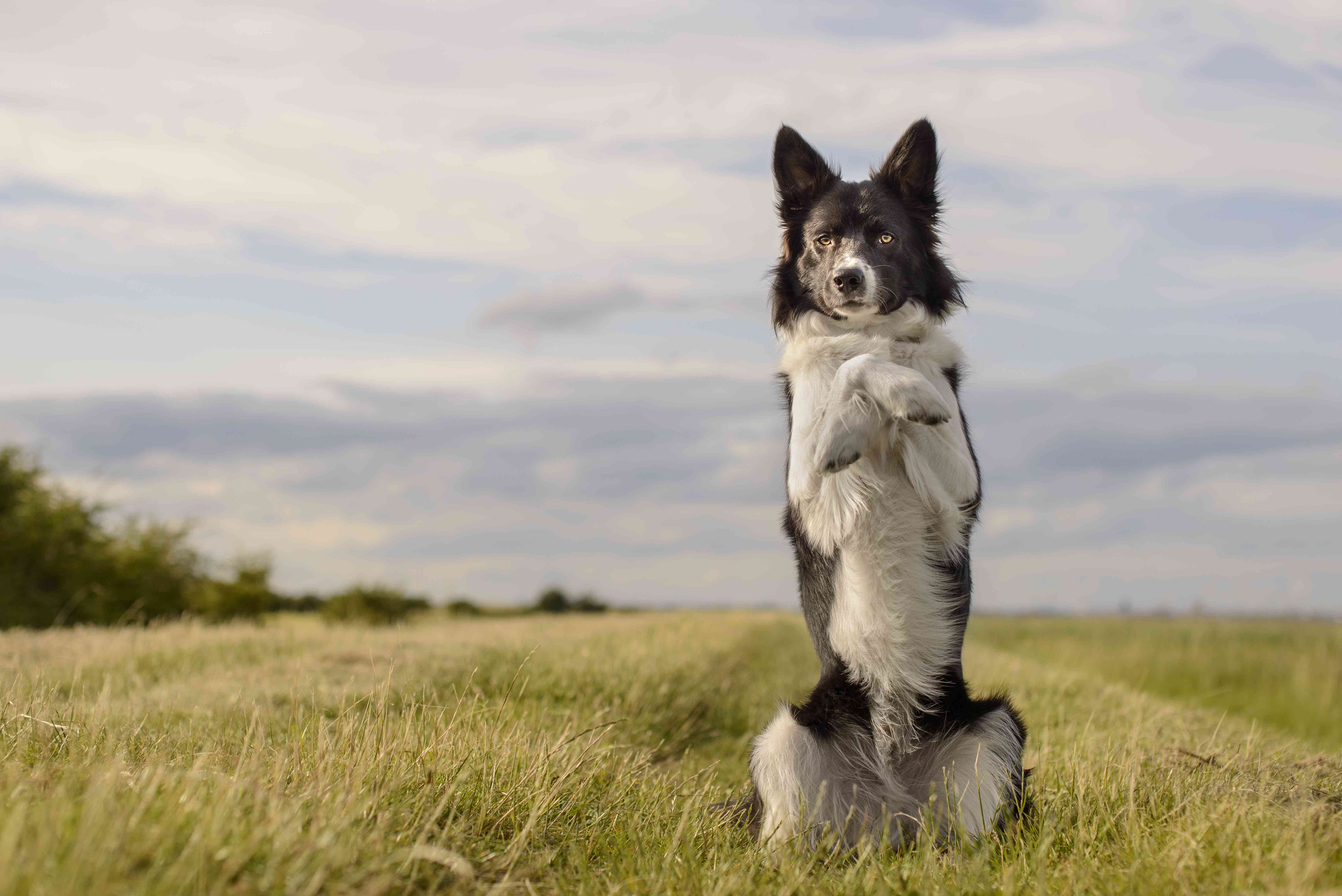 black and white dog in a field doing trick standing on two paws