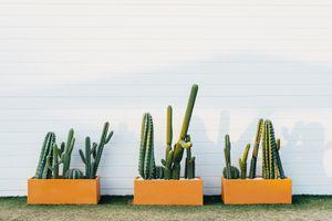 Cactus in garden boxes