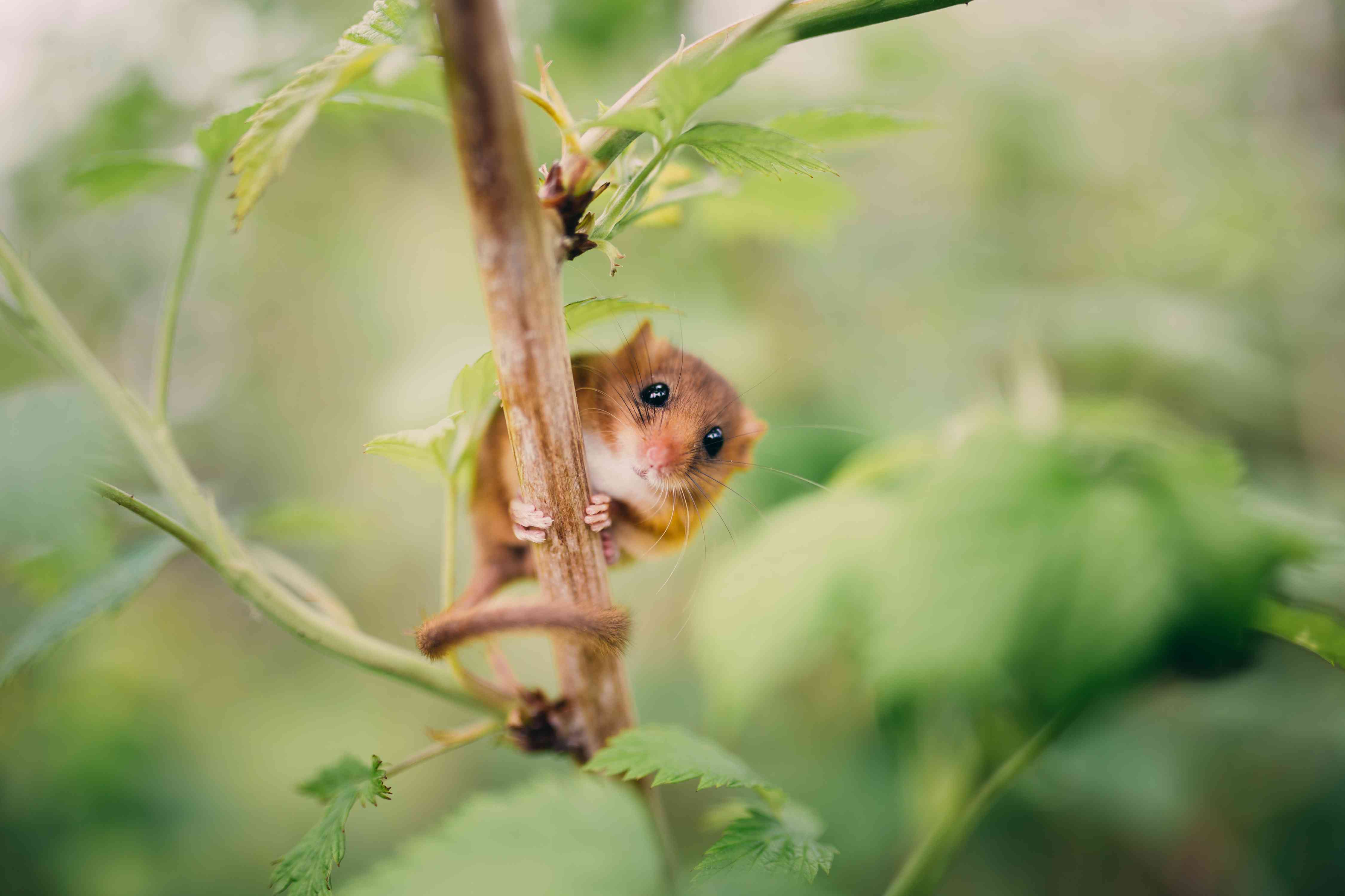 A dormouse pauses while climbing a twig