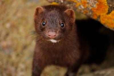 Close-Up Of Mink