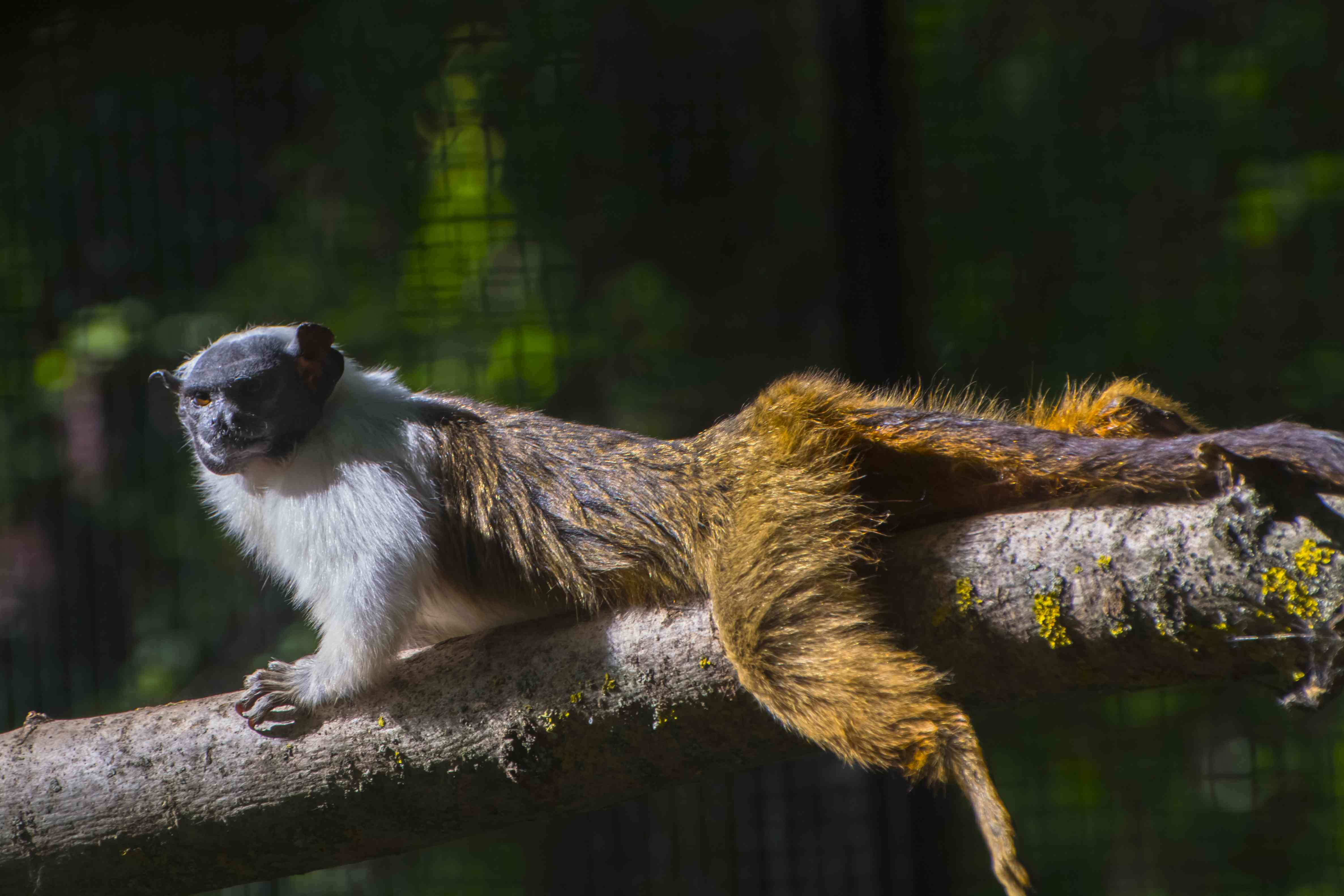 Pied bare-faced tamarin