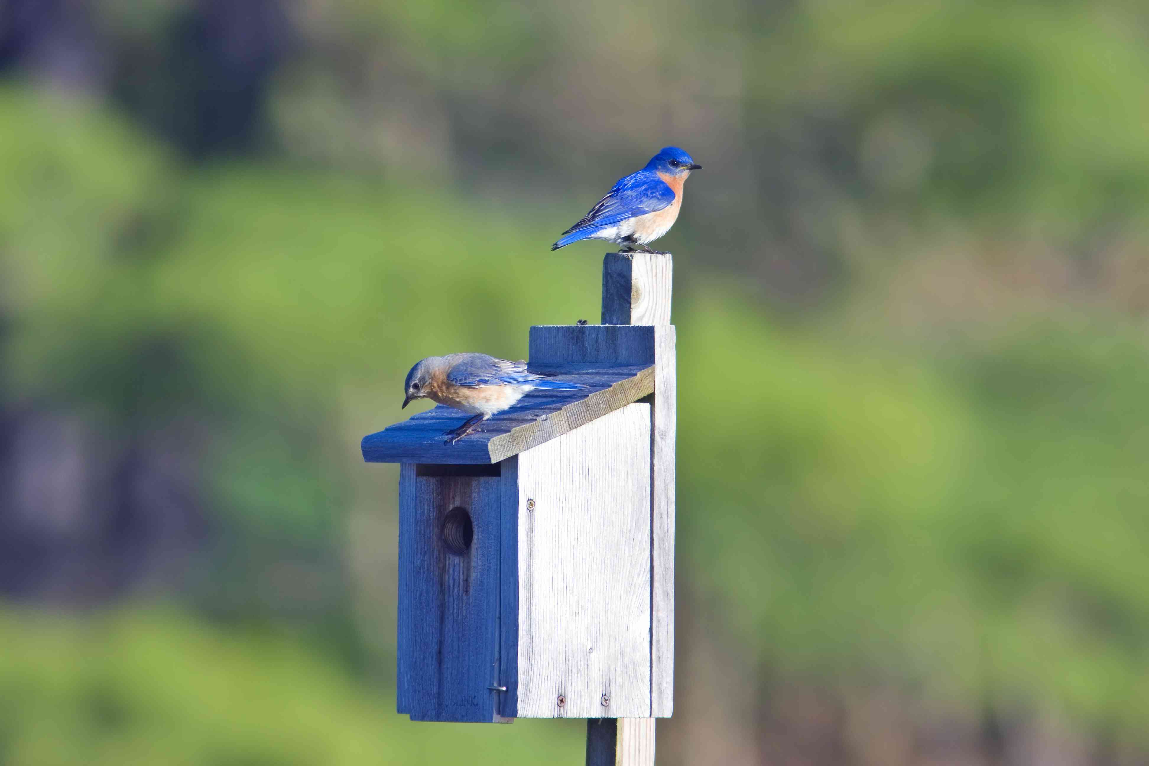 pair of eastern bluebirds at a nest box
