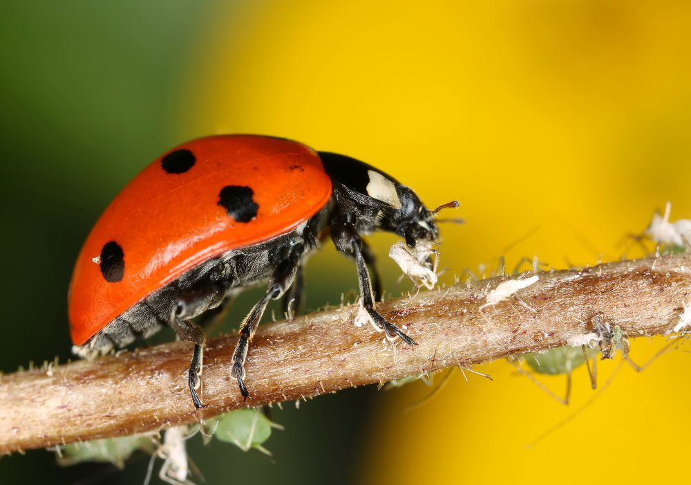Red and black ladybug on a small branch eating aphids