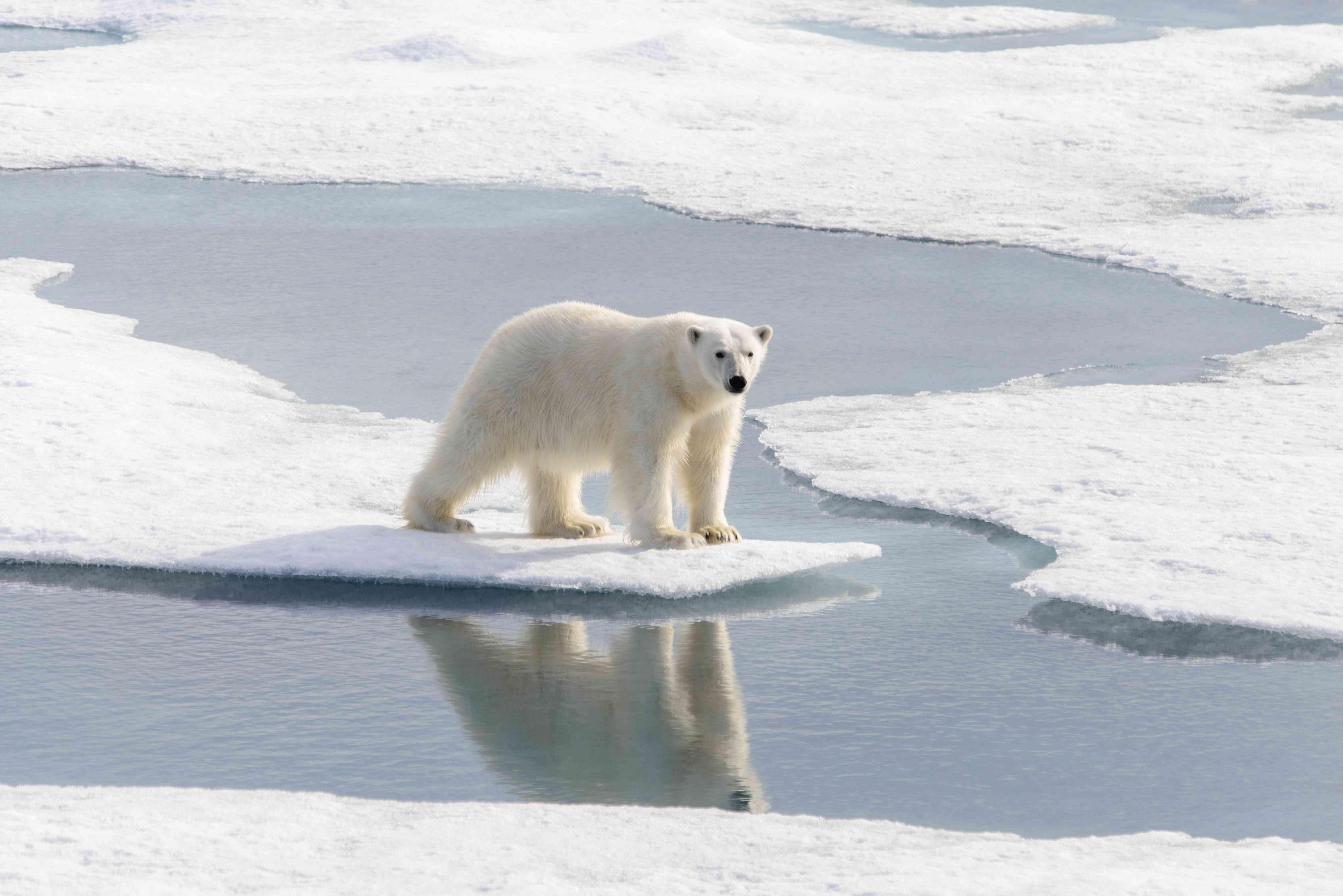 polar bear on shrinking ice