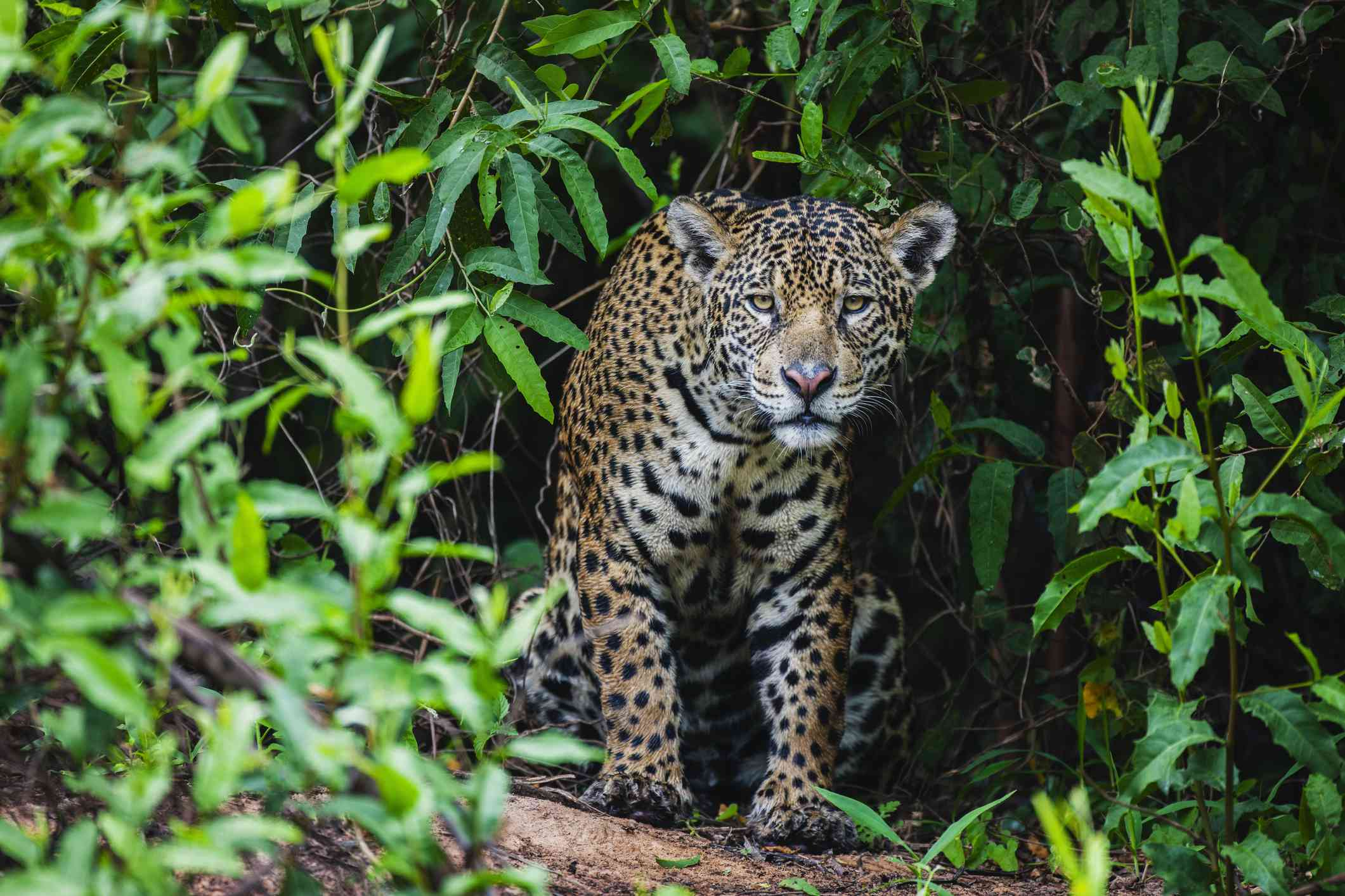 A spotted jaguar walking out of thick, green vegetation in South America