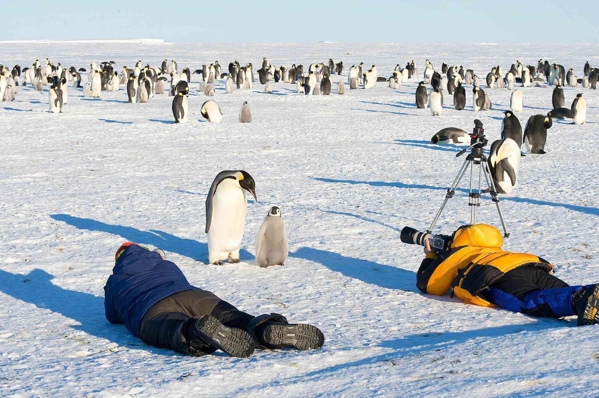 wildlife photographer shoots emperor penguin and baby