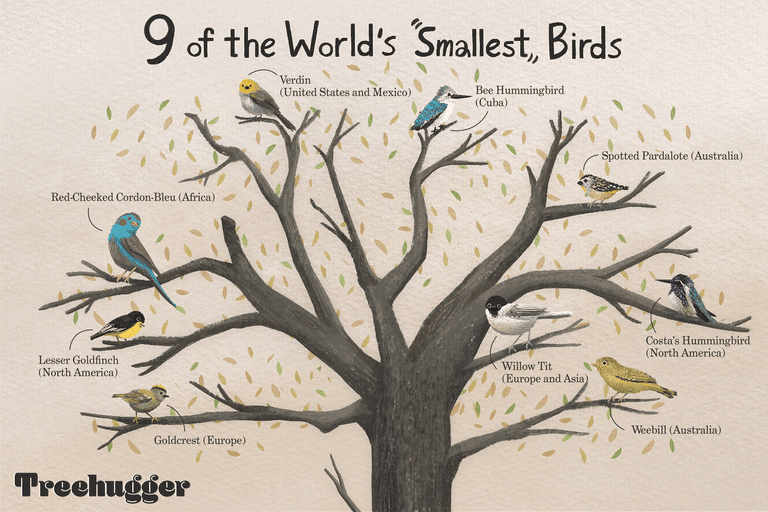 Illustration of tree showing nine of the world's smallest birds