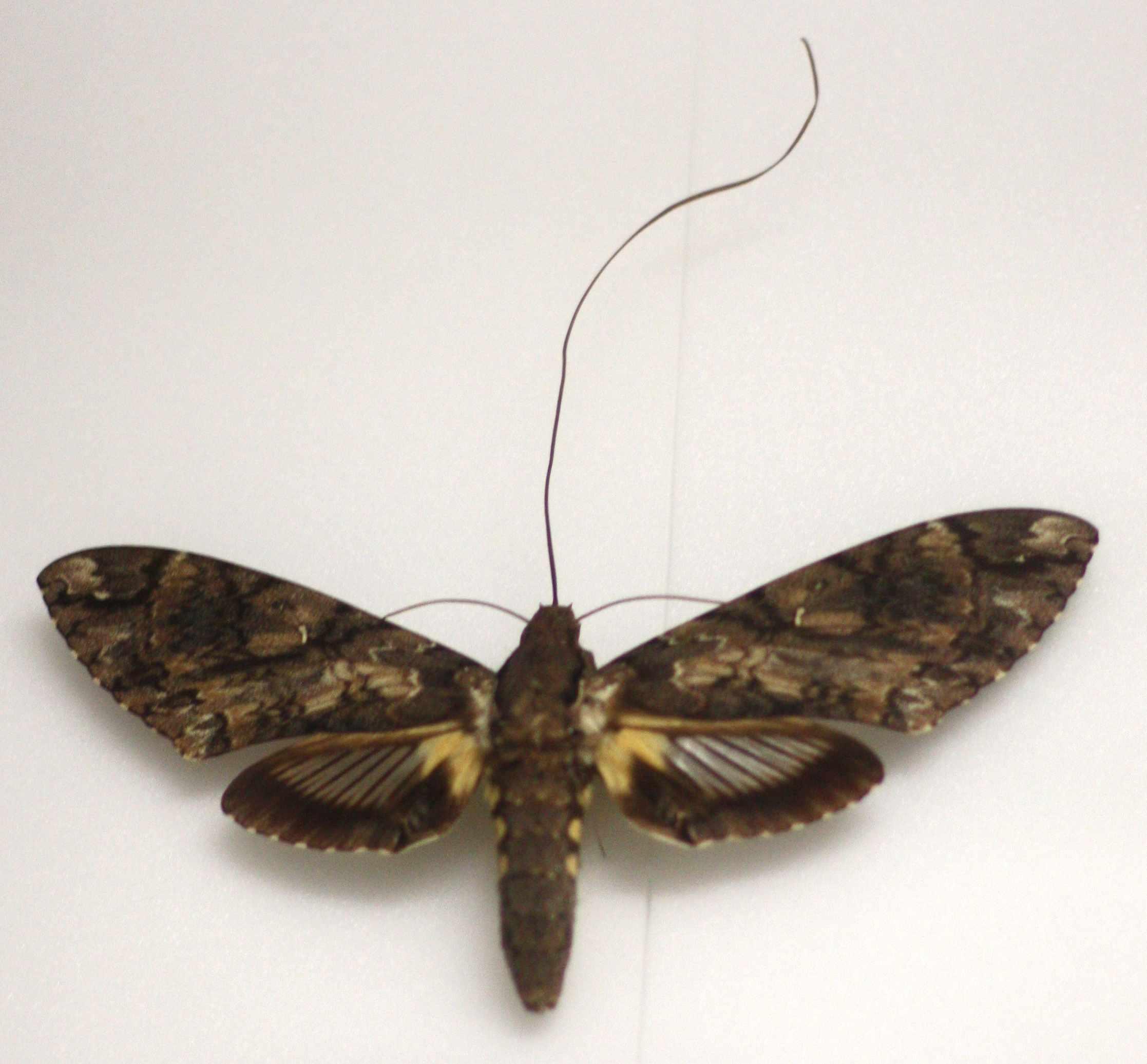 giant sphinx moth, Cocytius antaeus