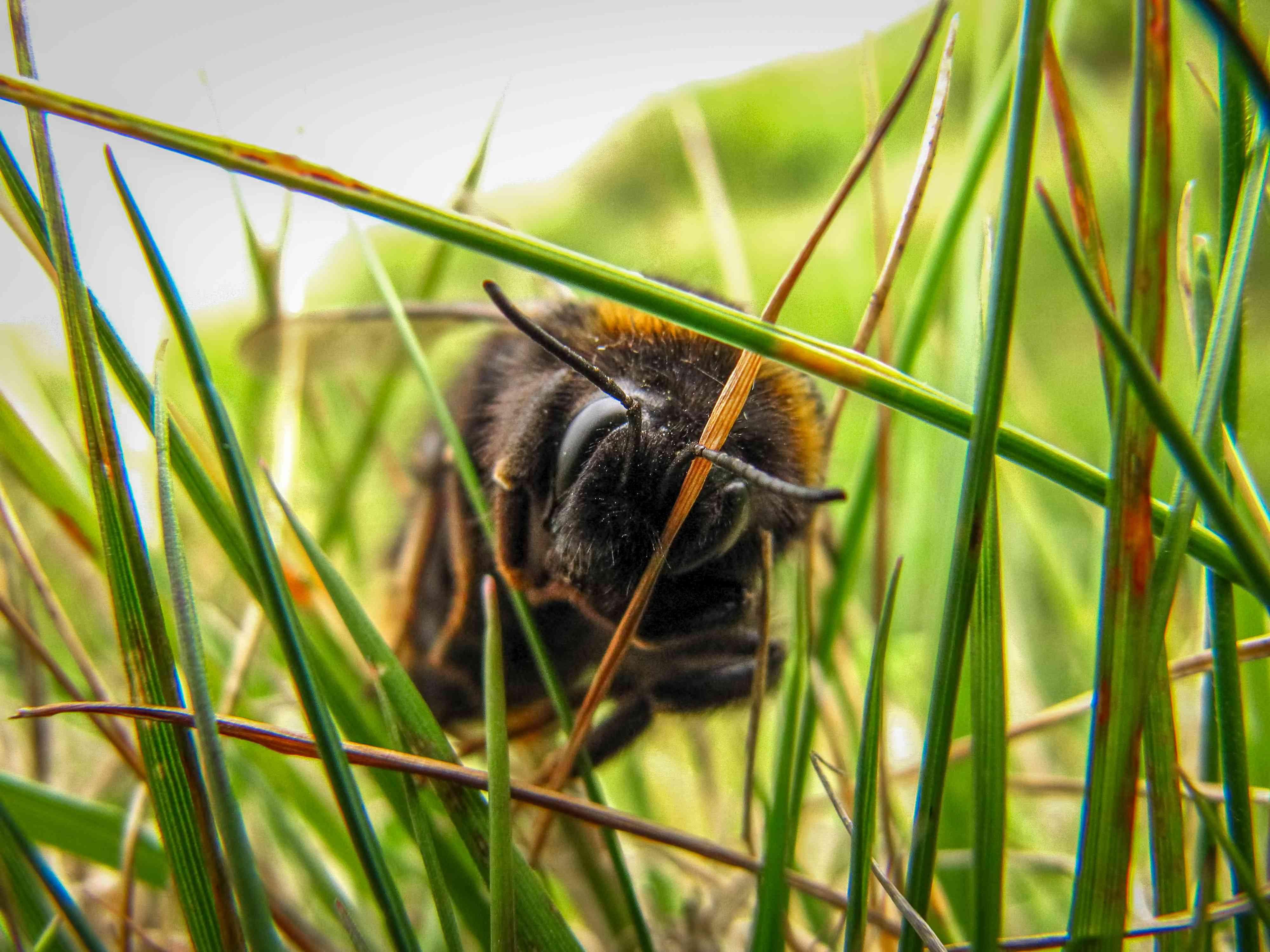 bumblebee in tall grass