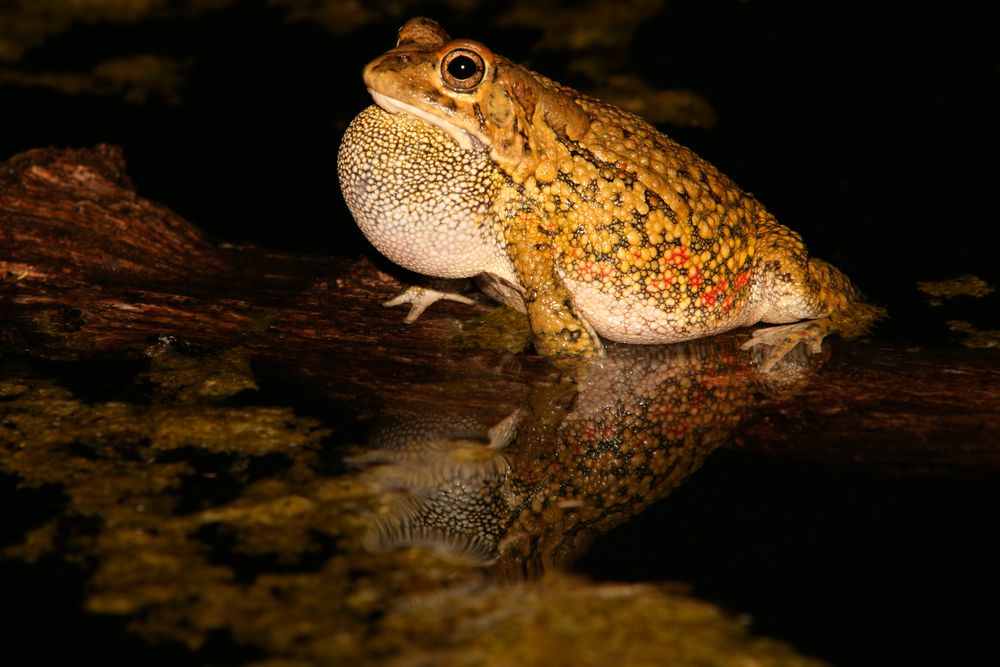 Yellow frog in pond at night