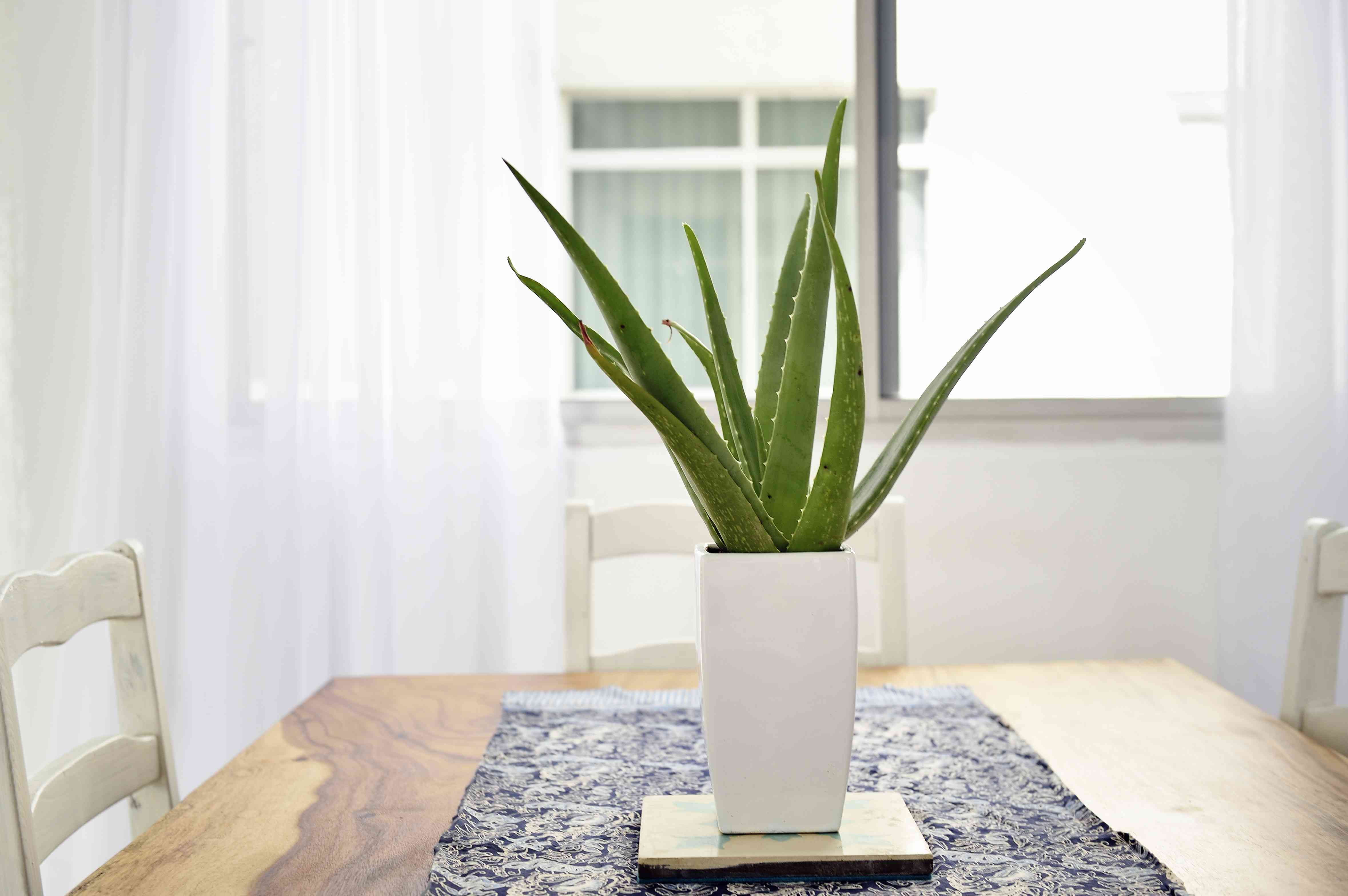 Aloe vera plant on a beautiful wood table