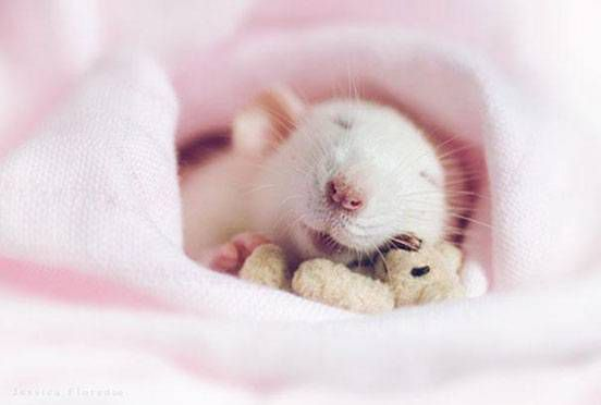 A rat sleeps in a pink blanket with a tiny teddy bear