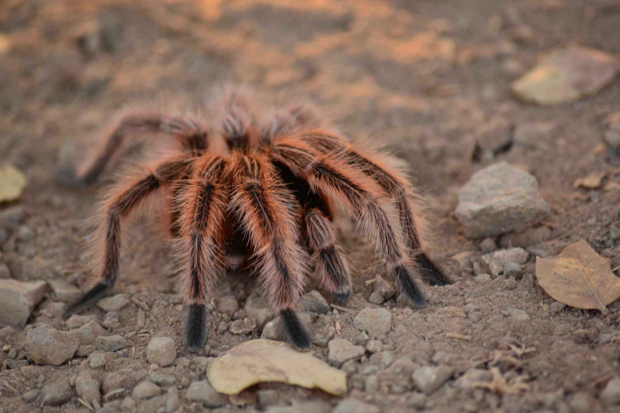8 Incredible Facts About Tarantulas