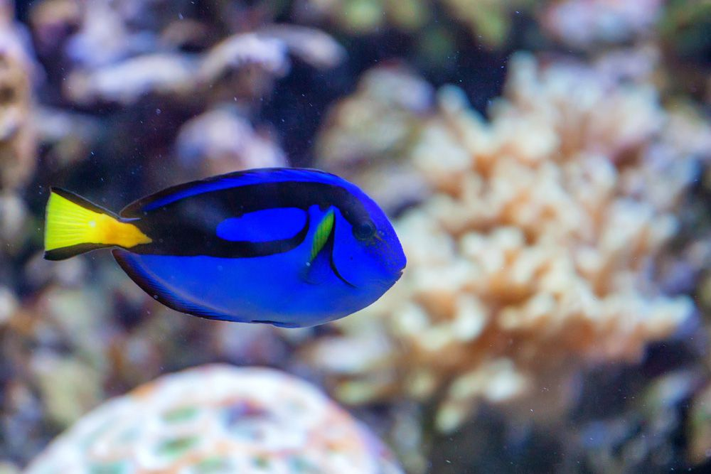 A bright violet blue tang with a yellow tail swimming on a coral reef