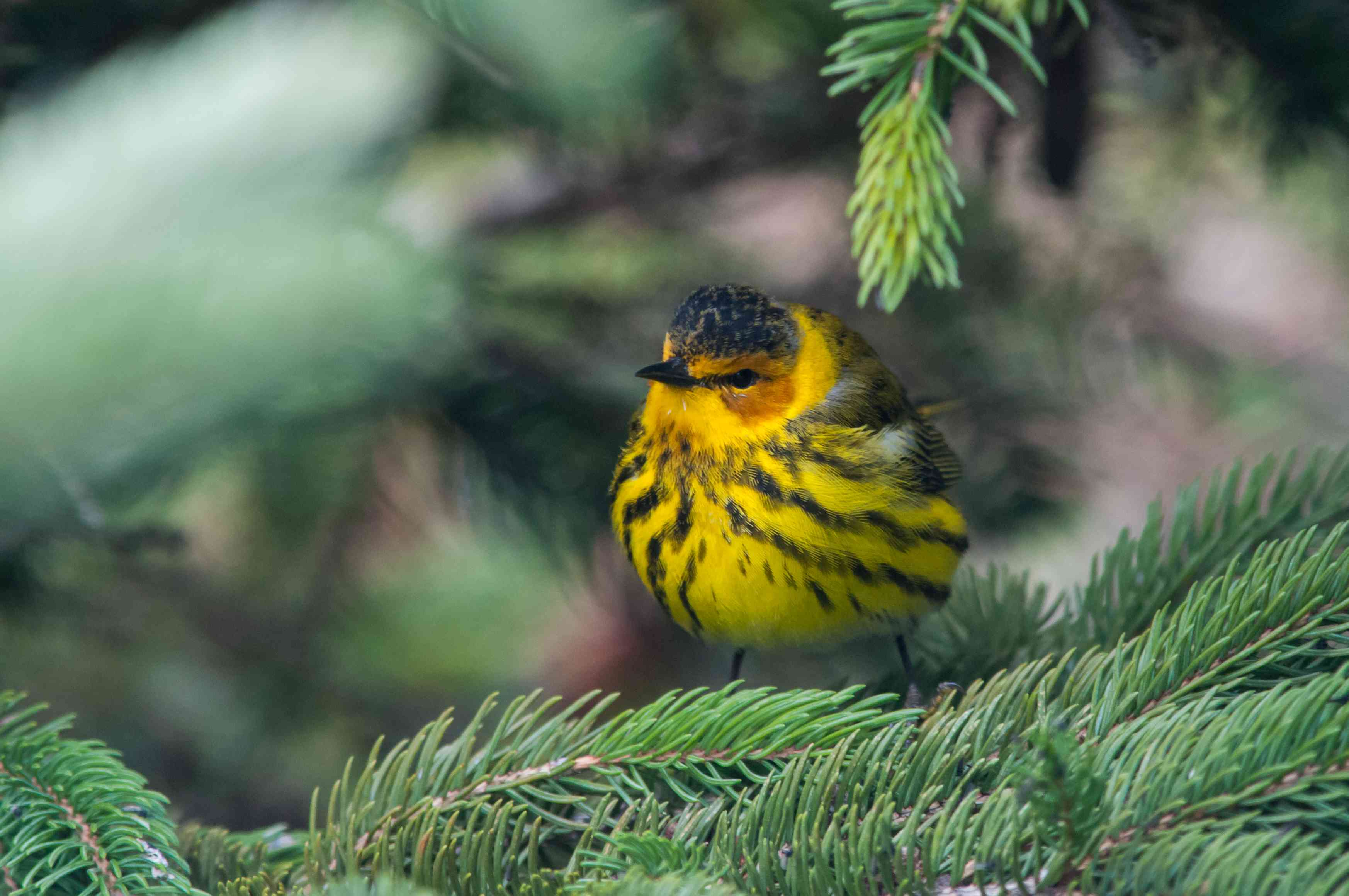 Cape May warbler perched in a fir tree