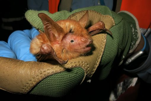 Myotis nimbaensisis was named for the Nimba Mountains where it was found.