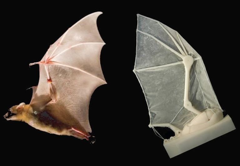 bat wing photo