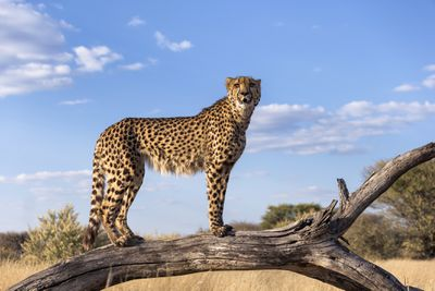 Cheetah standing on a dead branch using it as a advantage point