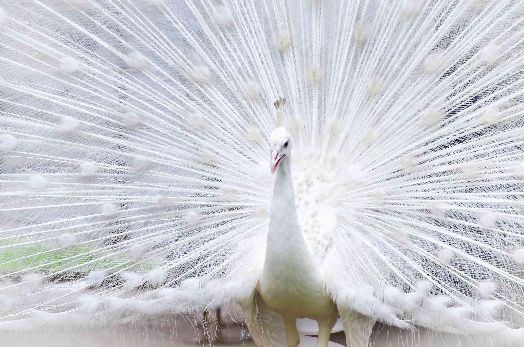 A close shot of a white albino peacock spreading its feathers.