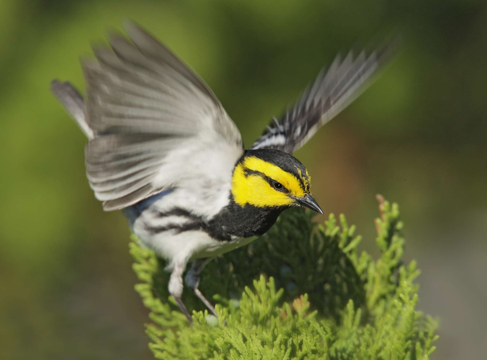 A golden-cheeked warbler with its wings raised standing on a small green plant.