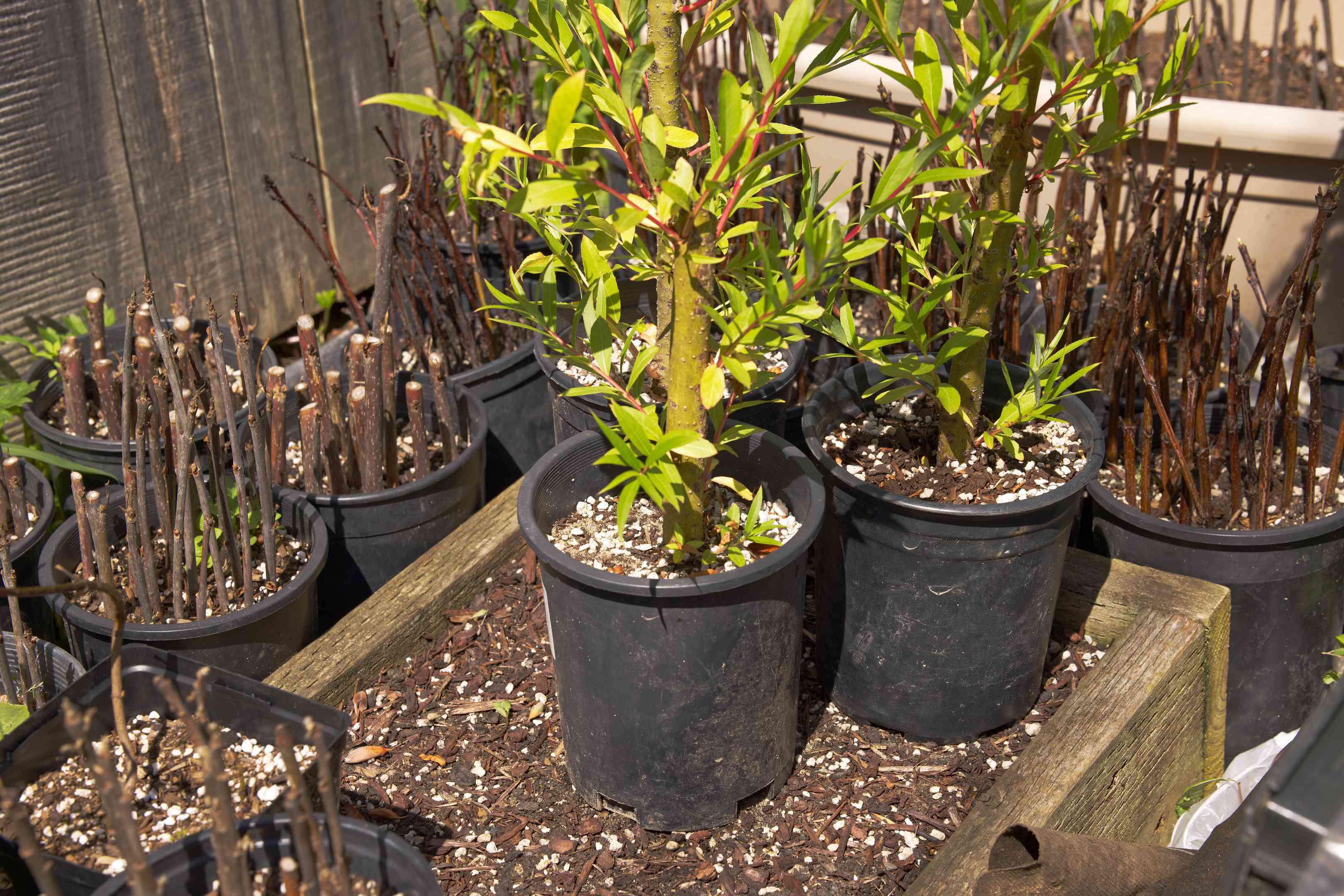 various small trees in plastic potting buckets ready to be planted
