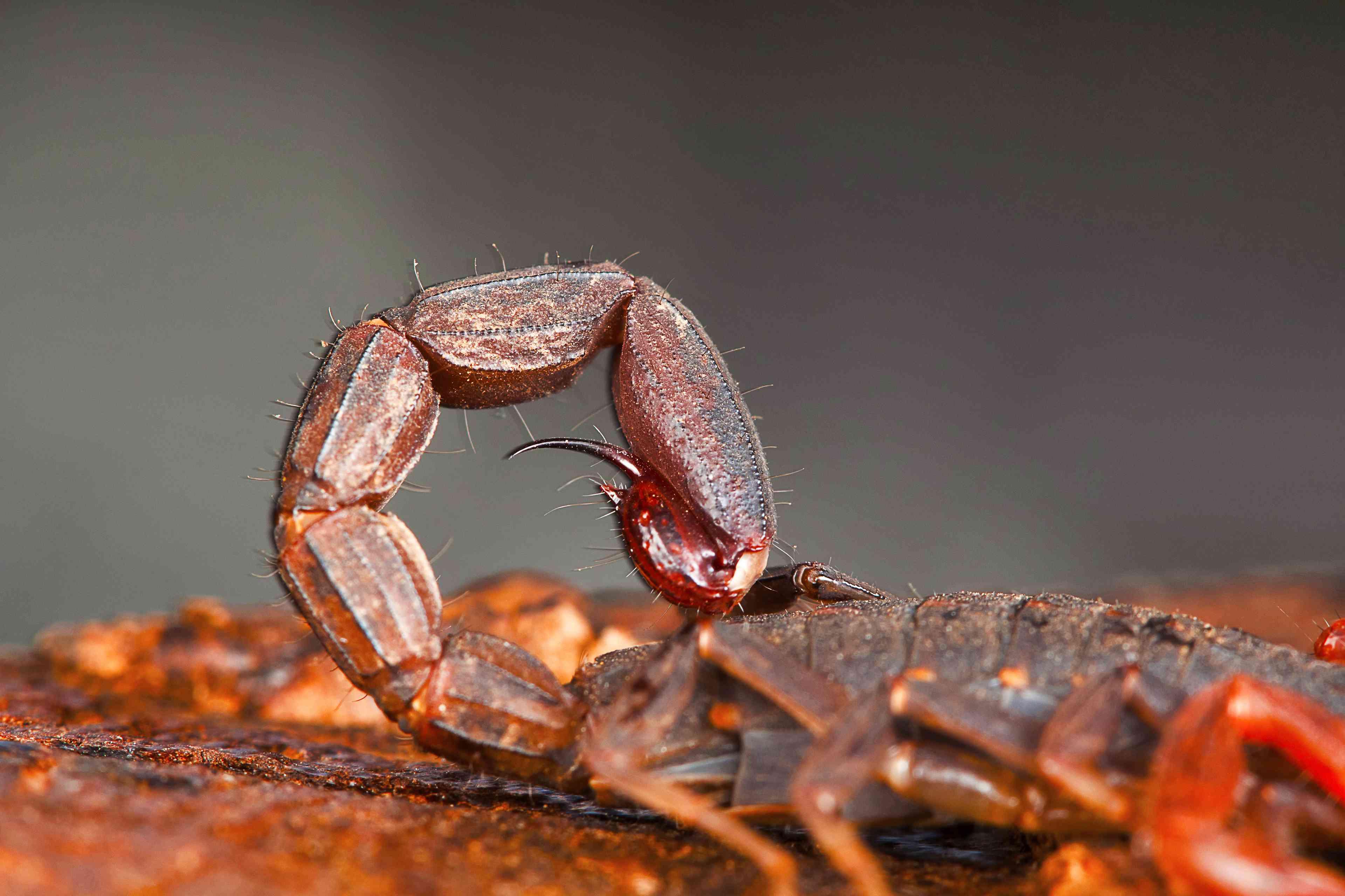 A three-keeled bark scorpion (Lychas tricarinatus) curls its metasoma at Udanti Tiger Reserve in Chhattisgarh, India.