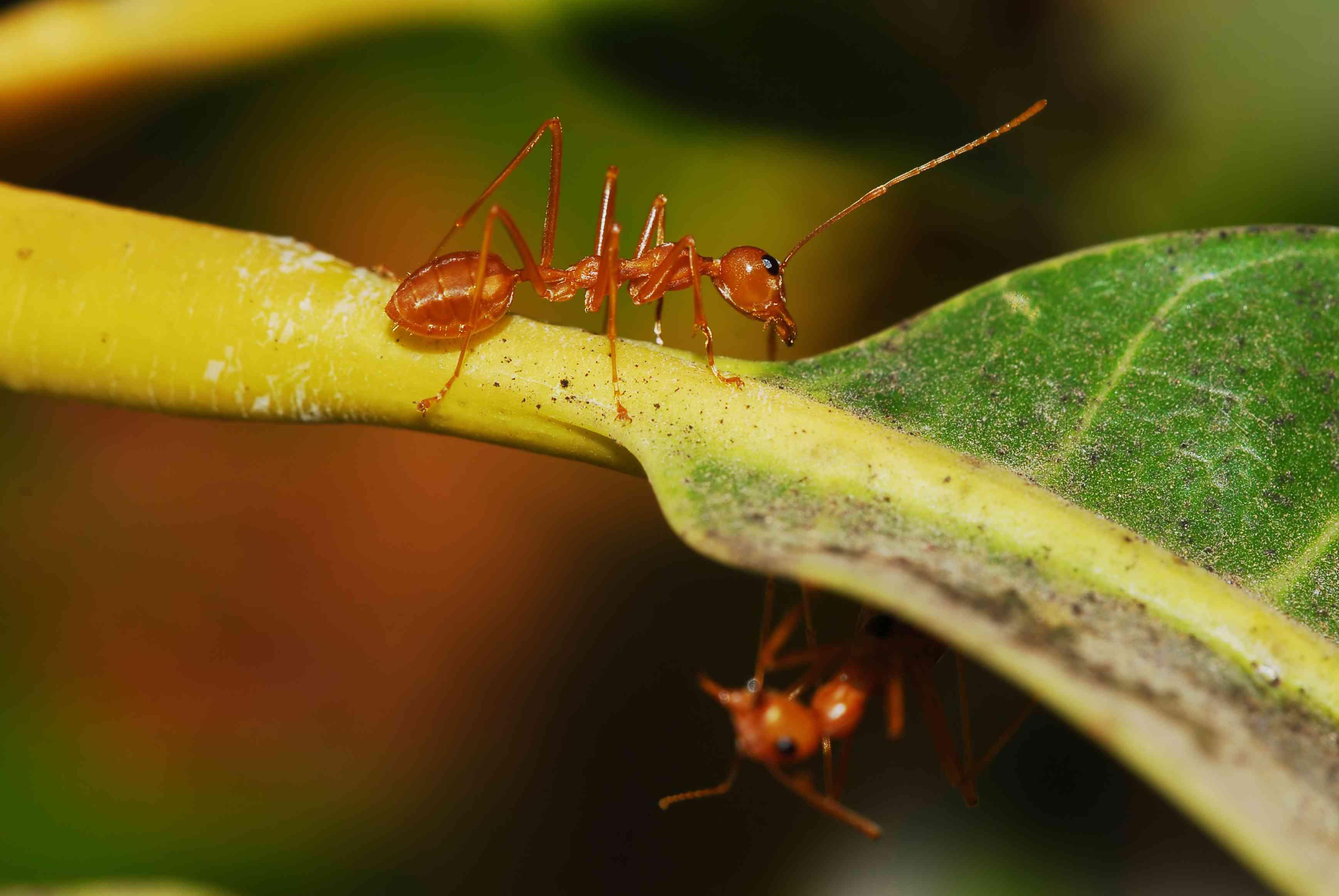 ants on mango tree