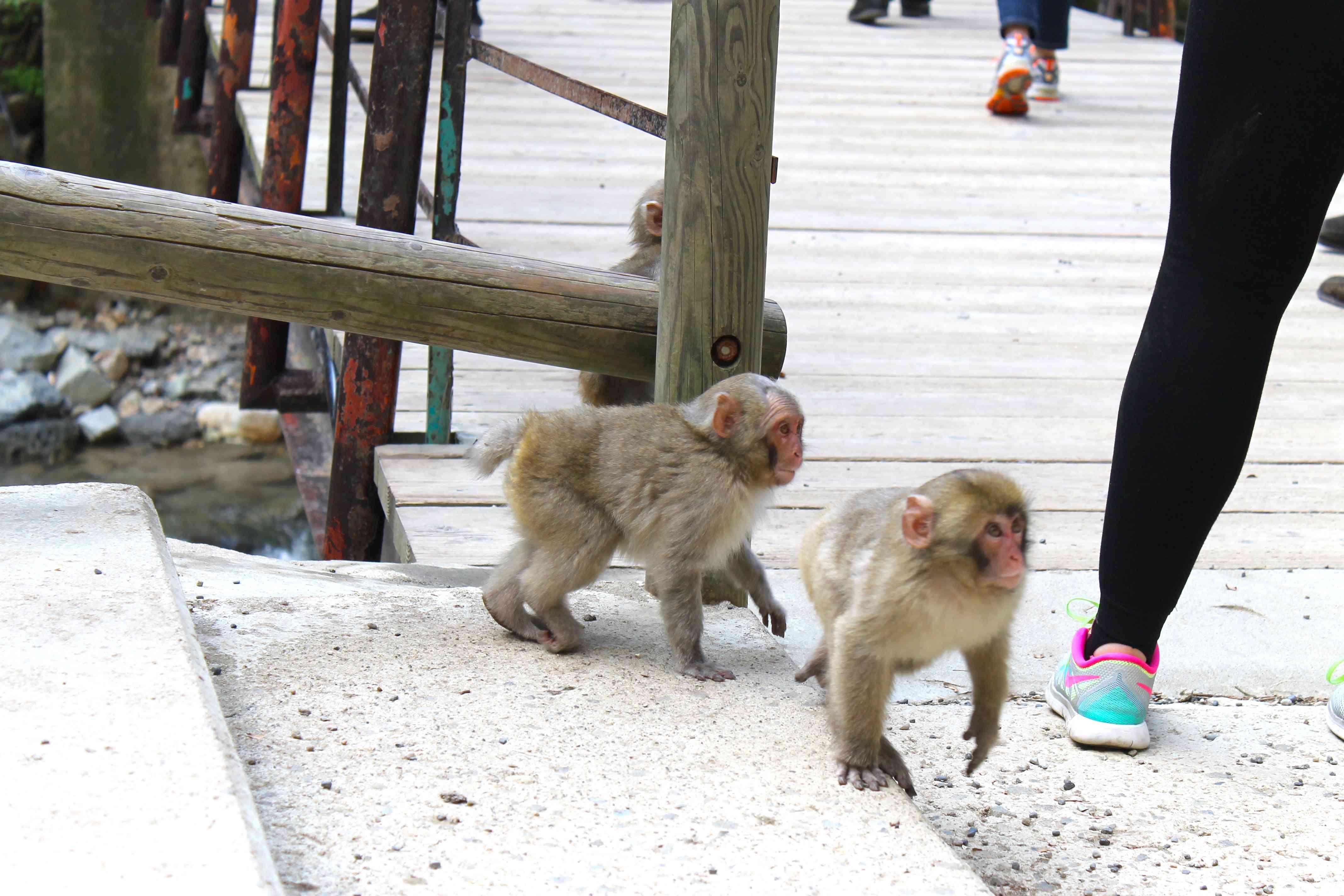 baby snow monkeys