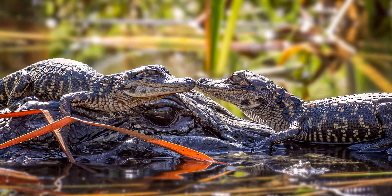 Baby alligators with adult