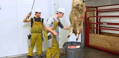 humane slaughter video photo