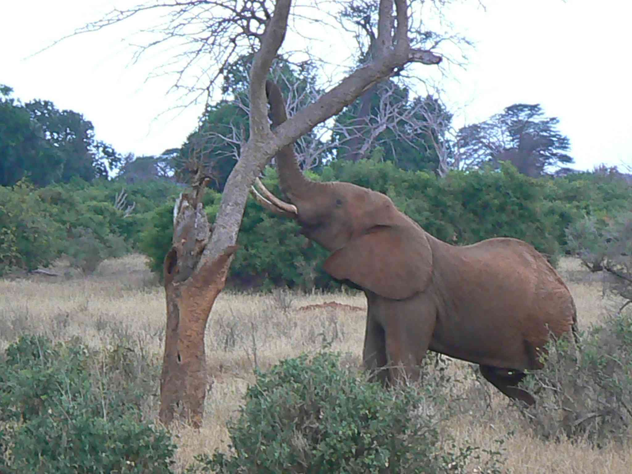 Elephant in Kenya pulling down a tree