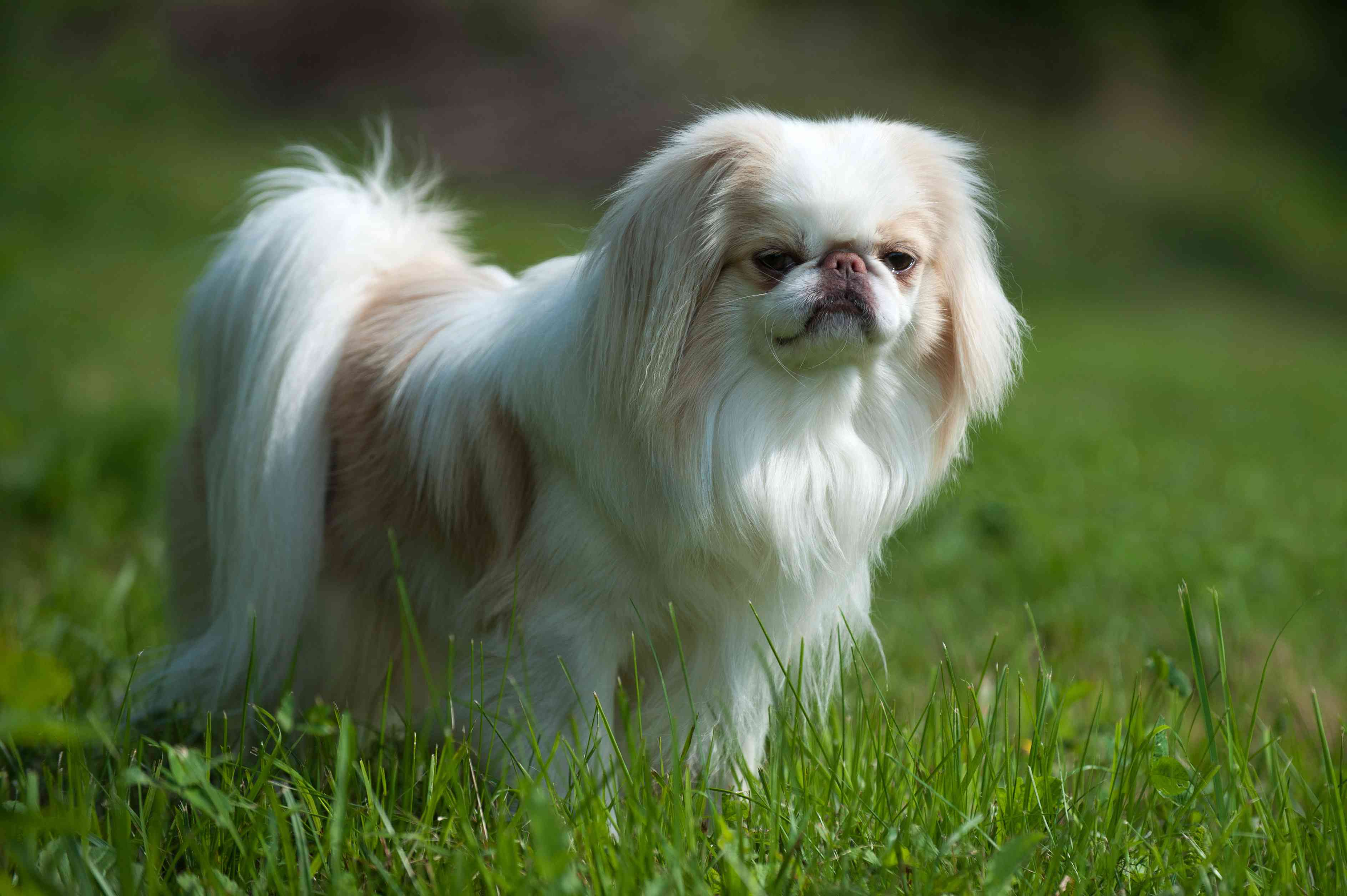 Brown and white Japanese Chin standing in green grass