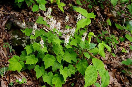 Tiarella cordifolia, heartleaf foamflower